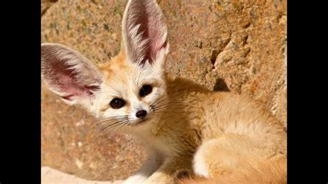 Facts About the Elusive Little Fennec Fox - YouTube