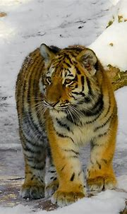 Royalty-Free photo: Tiger on snow field | PickPik
