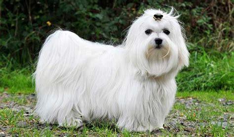 13 hypoallergenic dog breeds
