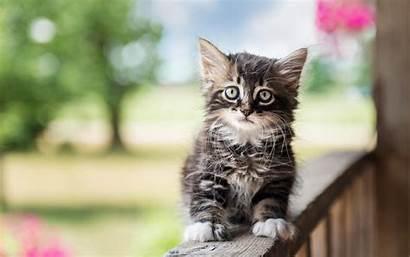 Cats Cat Kitten Siberian Animals Fluffy Kittens