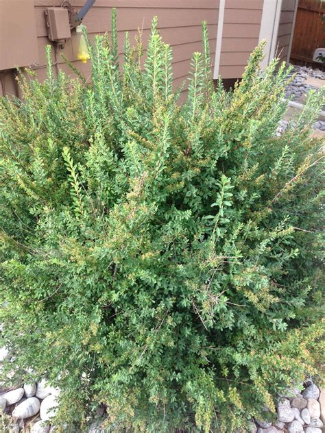 Identification  What Is This Shrub In Colorado With White