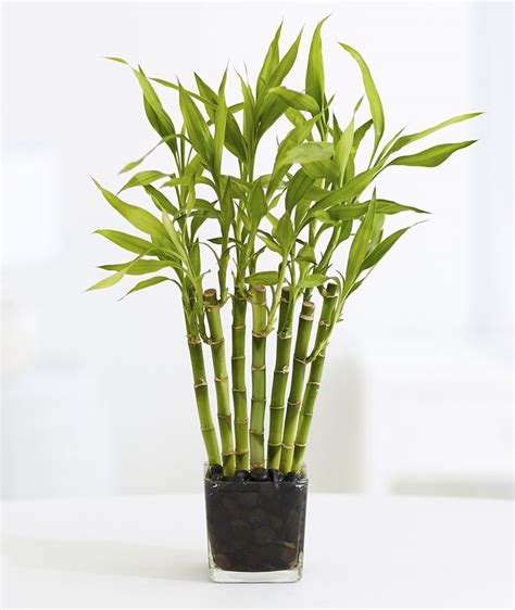 Lucky Bamboo Pflege by Best 25 Lucky Bamboo Plants Ideas On Feng