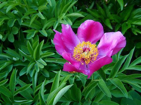 purple and yellow lotus flower 183 free