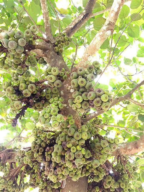 gular tree image file ficus racemosa cluster fig tree indian fig tree or goolar gular fig അത ത jpg