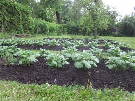 wann kartoffeln pflanzen kartoffeln pflanzen wie tief anbau kartoffeln