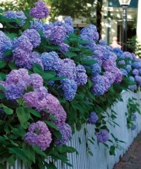 hydrangea bushes hydrangea hues lilac lair pinterest