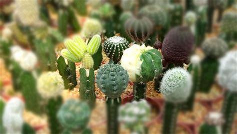 กราฟแคคตัส คืออะไร - cactus cacti | ข้อมูลกระบองเพชร ไม้อวบน้ำ