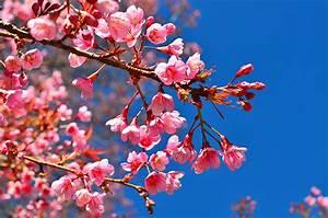 Rosa Blühende Bäume April : bilder von rosa farbe blumen ast bl hende b ume ~ Michelbontemps.com Haus und Dekorationen