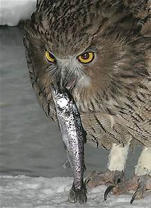 Oriental Bird Club Image Database : Blakiston's Fish Owl ...