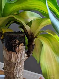 Houseplants, -, Why, Are, My, Corn, Plant, U0026, 39, S, Leaves, Turning, Yellow