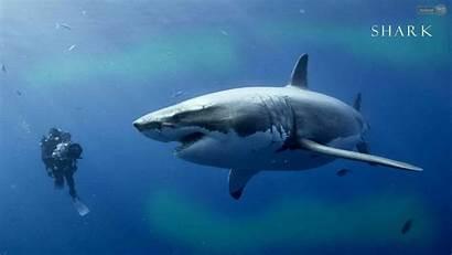 Shark Wallpapers Tiger Background Desktop Backgrounds Animal