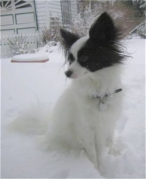 papillon dog breed pictures pap pics