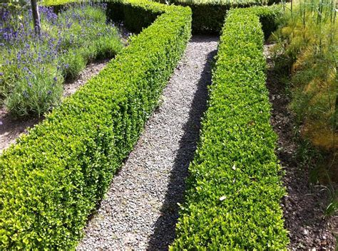contemporary wall beds box buxus sempervirens bare root hedging fruit