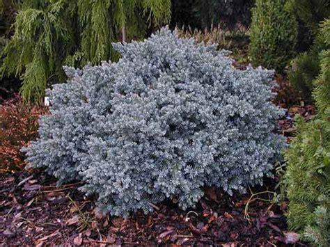 blue juniper evergreen shrub list dammanns