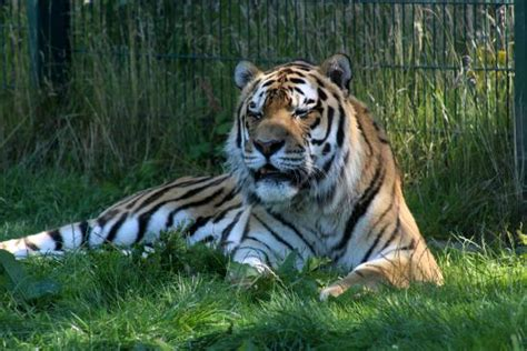 great tiger picture  blackpool zoo tripadvisor