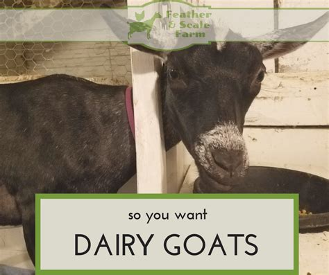 does goat cheese lactose so you want dairy goats feather and scale farm