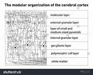 Diagram Structure Cerebral Cortex Stock Illustration