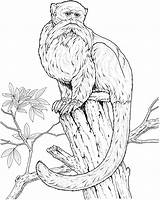 Monkey Coloring Pages Monkeys Animals Tree Wise Wildlife Primate Species sketch template