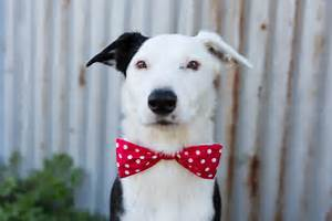 dogs bowties photos