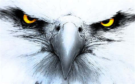eagle hd wallpapers background images wallpaper abyss