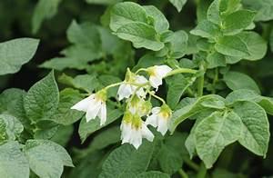 Solanum Information