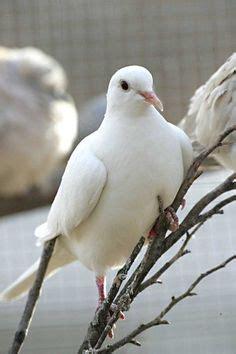 tim decker pigeons white dove power animal symbol of peace love maternity