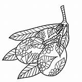 Coloring Twig Olive Drawn Adults Ink sketch template