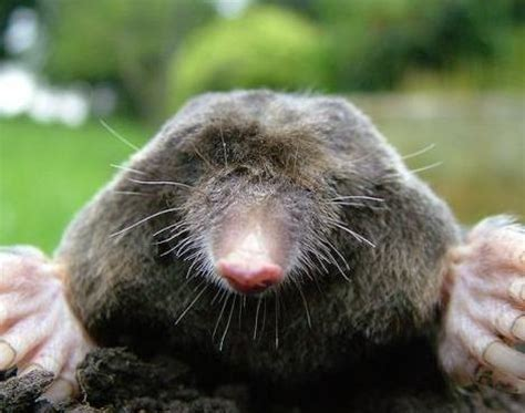 mole animal mole talpidae animals a z animals