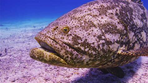 grouper goliath florida personal close