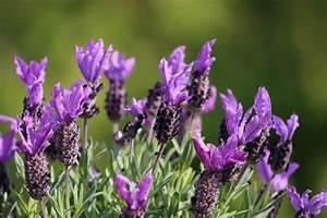 Lavendel Pflanzen Kaufen : mediterrane pflanzen die 10 wichtigsten mediterranen ~ Lizthompson.info Haus und Dekorationen