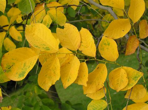 trees with yellow leaves in fall american yellowwood tree westchester tree life