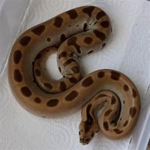 The Burmese Python Morph List - Reptile Forums | Animals ...