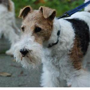Hard Hair Fox Terrier | Medium Dog Breeds