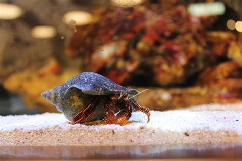 do hermit crabs shed their whole find out if your hermit crab is molting or dead