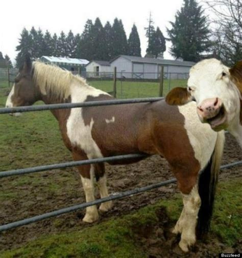 cow horse photobombs go