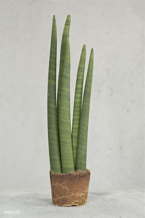 sansevieria cylindrica 169 smallbigidea com geometry of plants sansevieria cylindrica sbi geometric interior