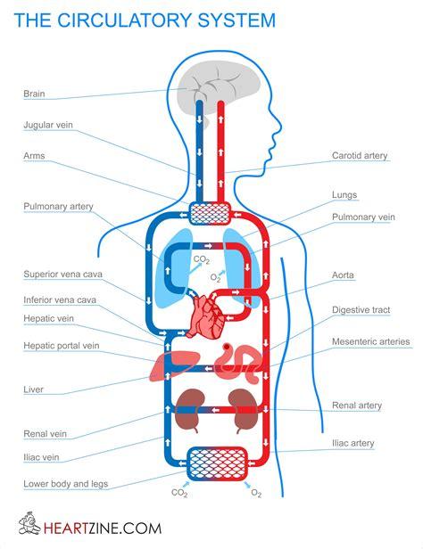 blood circulation system in human circulatory system