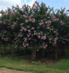 How To Start Nursery Plant Business by 3 Steps For Growing Crape Myrtles