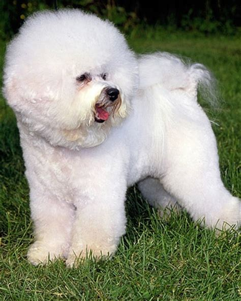 23 best images about bichon grooming on pinterest