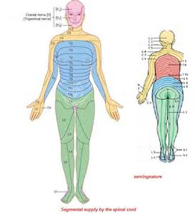 Spinal Cord Segments