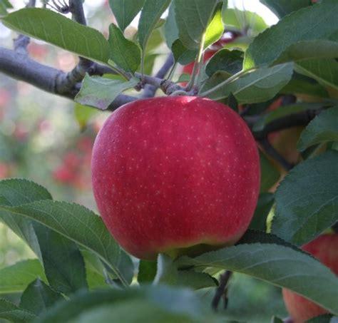 Apple Varieties | Waters Orchard