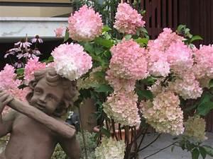 Hortensie Wims Red : rispenhortensie 39 vanille fraise 39 hydrangea paniculata ~ Michelbontemps.com Haus und Dekorationen