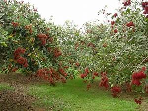 rambutan tree | Fruits /frutas | Pinterest | Gardens ...