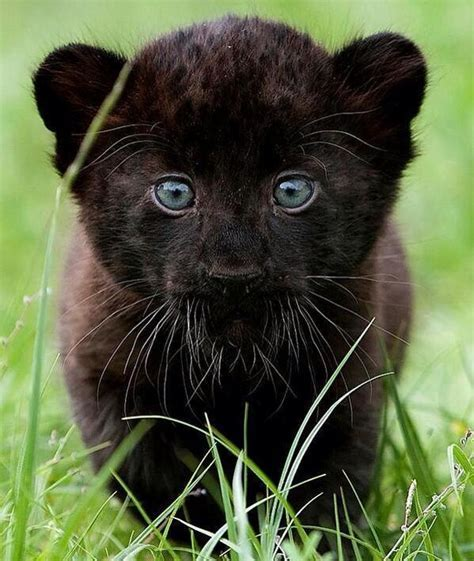 """Cute baby panther """"Fascinating Pictures: Panther Cub"""