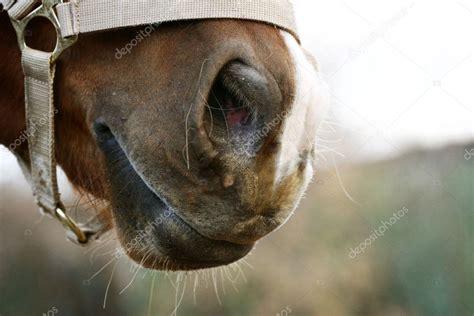 nose horse arab depositphotos mari