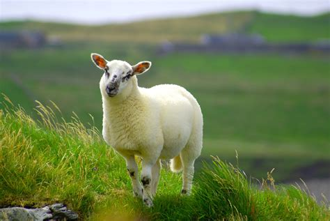sheep wallpapers uskycom
