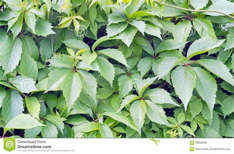 Climbing Plant Green Leaves Stock Photo  Image 58838940