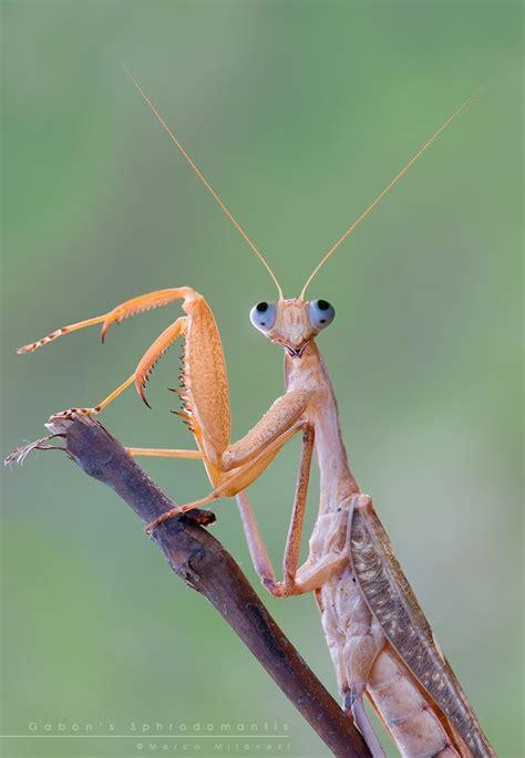 images   praying mantis  pinterest