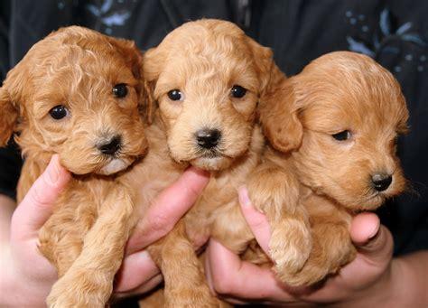 Wann Ist Ein Hund Ausgewachsen Gre Von Hunderassen