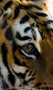 Eye of the Tiger | Bengal Tiger staring | Donald Gallagher ...